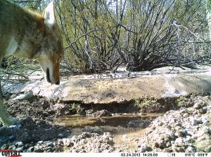 Thirsty Coyote