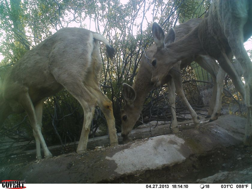 Deer at Watering Hole